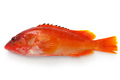 blacktip grouper isolated on white background - PhotoDune Item for Sale