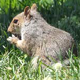 New York - Central Park - Squirrel on Grass - VideoHive Item for Sale