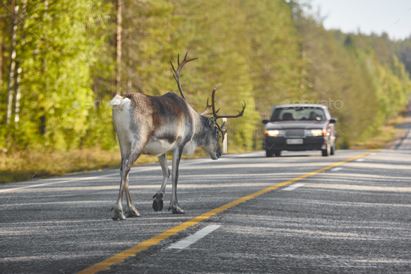 Reindeer crossing a road in Finland. Finnish landscape. Travel background - Stock Photo - Images