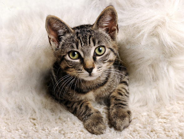 grey little kitten - Stock Photo - Images