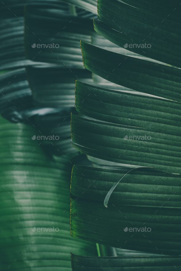 Macro image of tropical banana leafs. - Stock Photo - Images