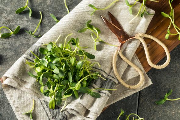 Raw Green Organic Sunflower Microgreens - Stock Photo - Images