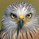 Red kite - PhotoDune Item for Sale