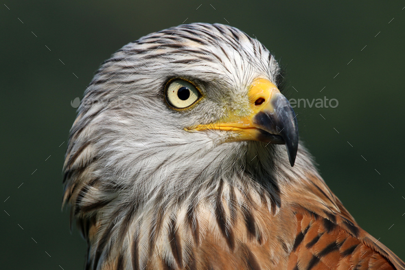 Red kite - Stock Photo - Images