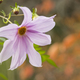 Flowers of Dahlia imperialis, bell tree dalia. - PhotoDune Item for Sale