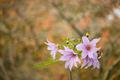 Flowers of Dahlia imperialis, bell tree dalia. - PhotoDune Item for Sale