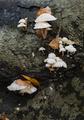 Mushroom family on dead leaves and wood. - PhotoDune Item for Sale