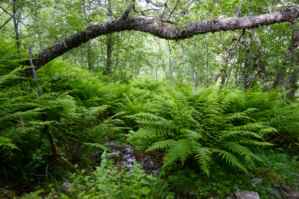 Lush norvegian forest - Stock Photo - Images