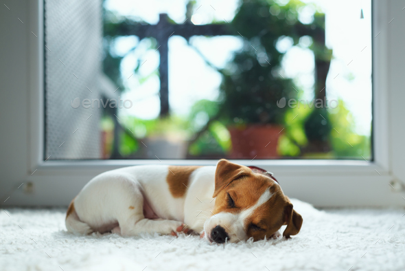 Jack russel puppy on white carpet - Stock Photo - Images