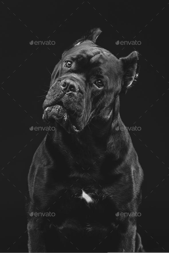 beautiful cane corso dog - Stock Photo - Images