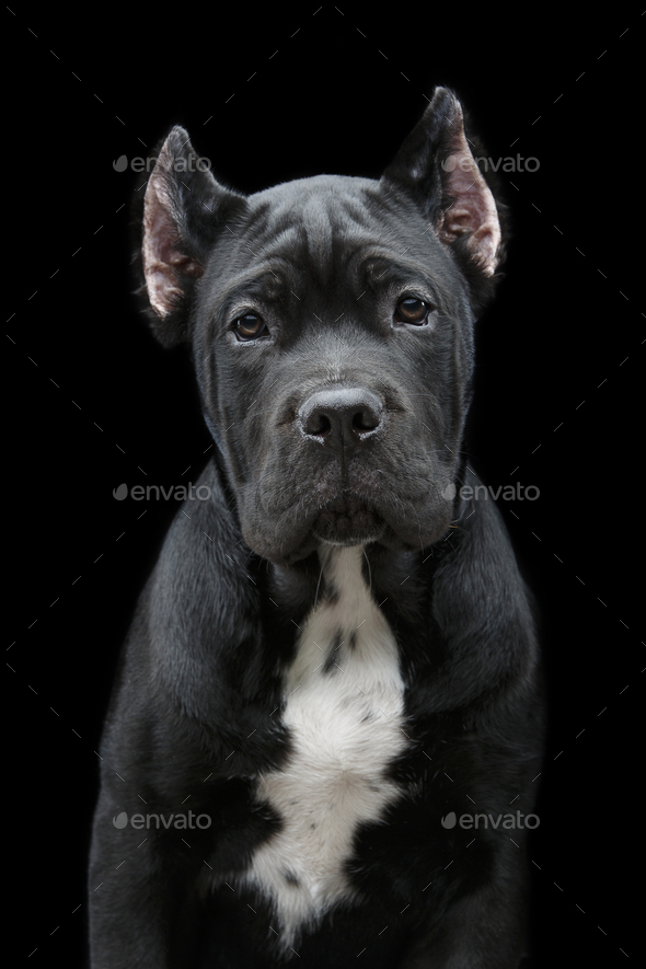beautiful cane corso puppy - Stock Photo - Images
