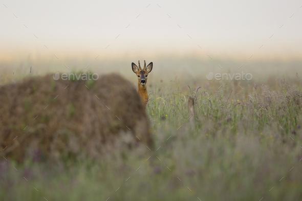 Buck deer hidden in the grass  - Stock Photo - Images