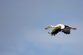 White stork in the flight  - PhotoDune Item for Sale