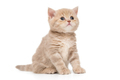 British kitten beige color - PhotoDune Item for Sale