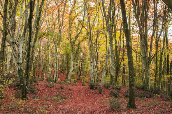 Beach forest in Autumn - Stock Photo - Images