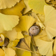 Gingko Fallen leaves in Autumn - PhotoDune Item for Sale