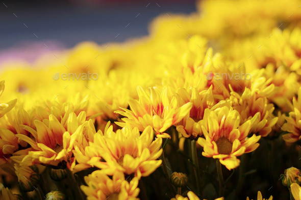 The beautiful of yellow flowers - Stock Photo - Images