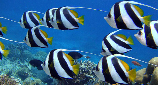 Tropical Red Sea Banner-fish
