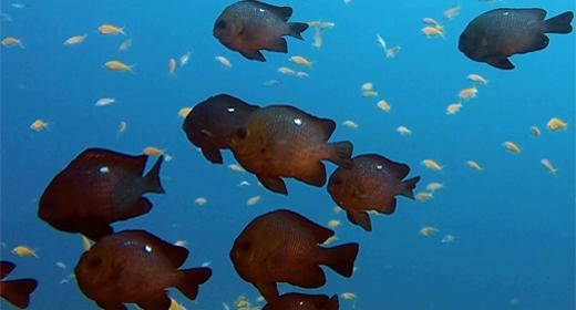 Tropical Threespot Dascyllus Fish