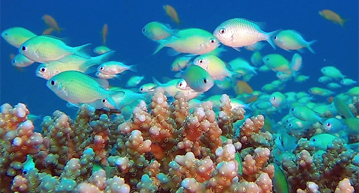 Underwater Blue-Green Chromis