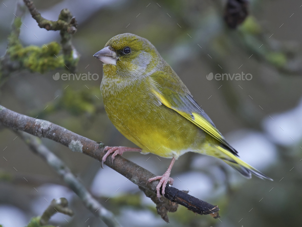 European greenfinch resting in its natural habitat - Stock Photo - Images