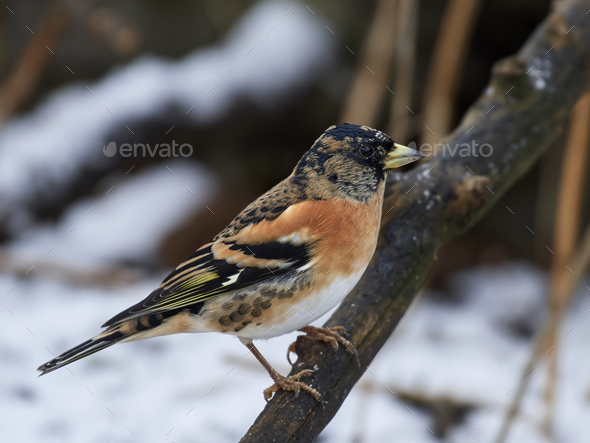 Brambling (Fringilla montifringilla) - Stock Photo - Images