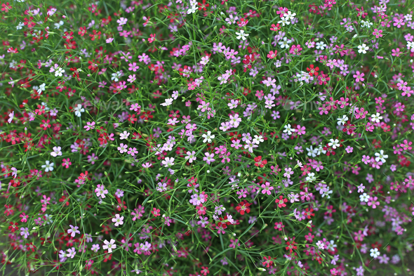 Gypsophila pink flowers  - Stock Photo - Images