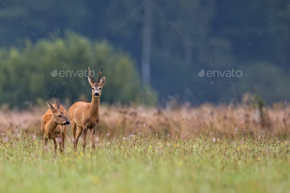 Buck deer with roe deer in a clearing  - Stock Photo - Images