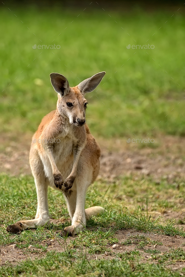 Kangaroo in a clearing - Stock Photo - Images
