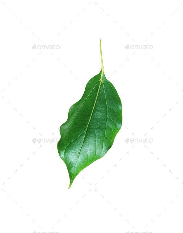 Citrus leave isolated - Stock Photo - Images