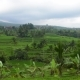 Work on a Rice Plantation on a Cloudy Day. . Indonesia, Bali - VideoHive Item for Sale