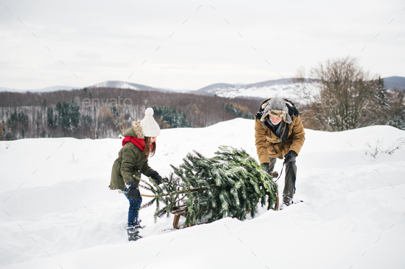 Grandfather and small girl getting a Christmas tree in forest. - Stock Photo - Images