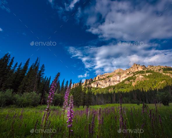 Purple Lupine flowers Pinnacle ridge San Juan Mountains - Stock Photo - Images