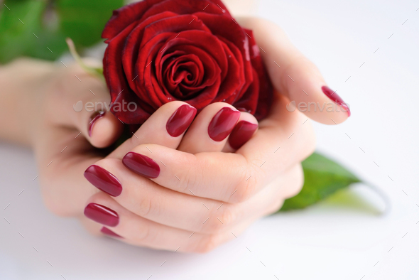 Hands of a woman with dark red manicure with red rose - Stock Photo - Images