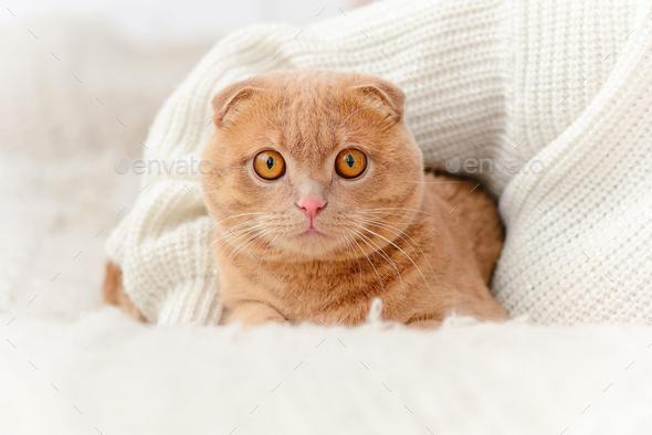 Domestic cat Scottish Fold looks at camera. - Stock Photo - Images
