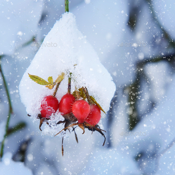 Red rosehip berries with snow - Stock Photo - Images