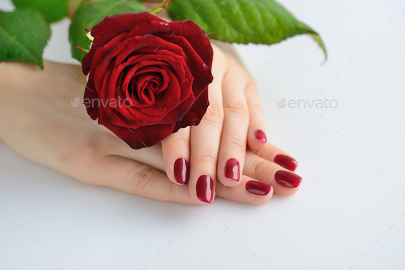Hands of a woman with dark red manicure with red rose on white b - Stock Photo - Images