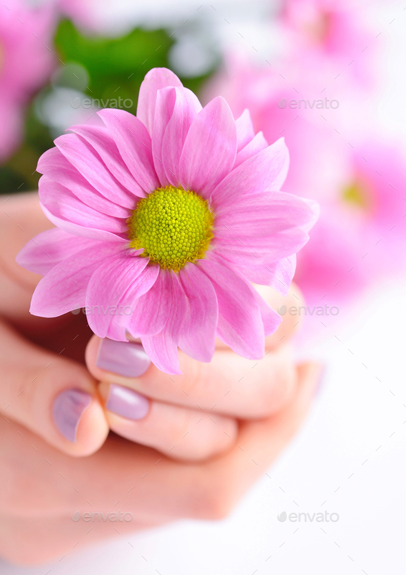 Pink flower in the hands of a young woman - Stock Photo - Images