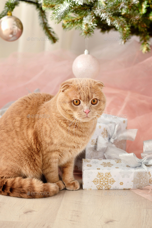 Domestic cat Scottish Fold close-up with gifts under the Christm - Stock Photo - Images
