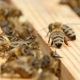 Hundreds of Bees Crawl on the Beecomb Boards with Honey and Wax - VideoHive Item for Sale