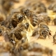 Dozens of Bees Crawl on the Beecomb Boards with Honey and Wax - VideoHive Item for Sale