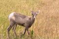 Wild Animal High Desert Bighorn Sheep Male Ram Young - PhotoDune Item for Sale