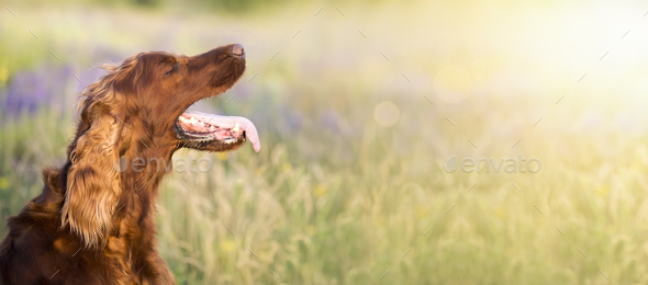 Dog in summer - Stock Photo - Images