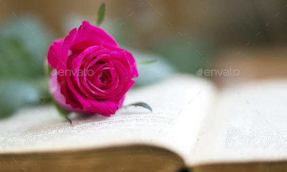 Soft pink rose - Stock Photo - Images