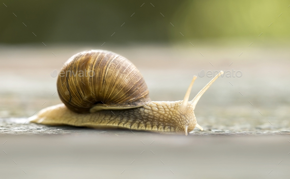 Slow snail crawling - Stock Photo - Images