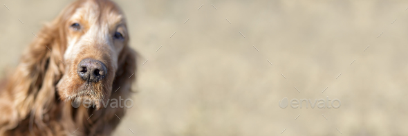 Old dog banner - Stock Photo - Images