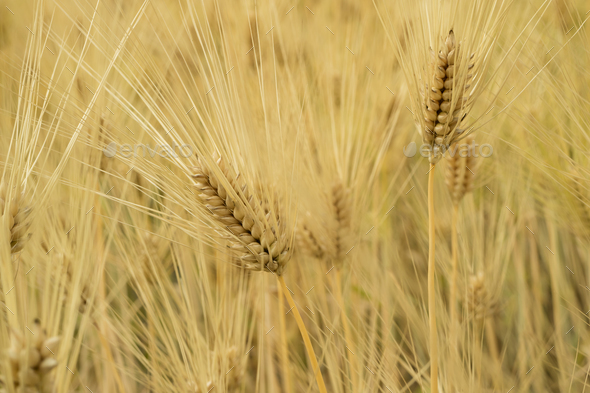 Golden rice ears close up - Stock Photo - Images