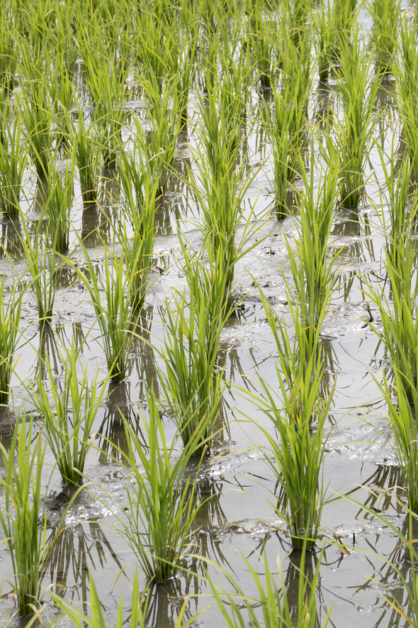 Rice field with young plants - Stock Photo - Images