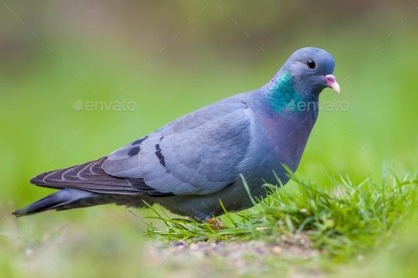 European Stock dove - Stock Photo - Images