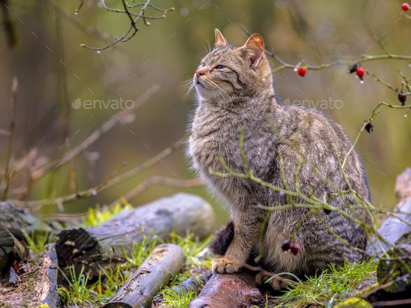 Wild cat in bush - Stock Photo - Images
